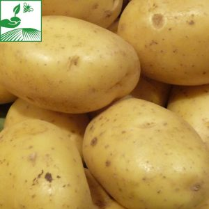 Phytos pommes de terre