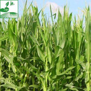 Phytos maïs