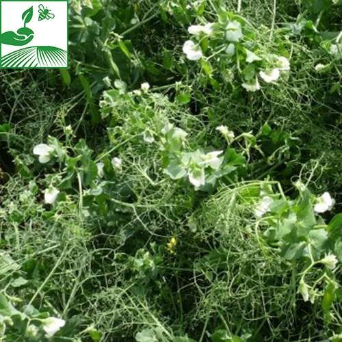 semences pois hiver 2 500x500 - BALLTRAP - BIGBAG 600KG