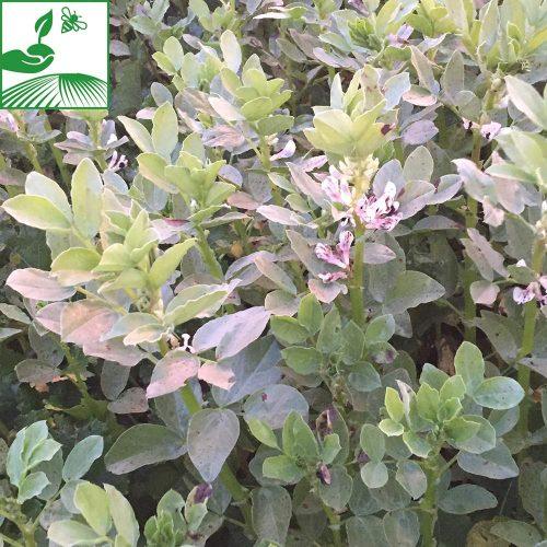 semences proteagineux feverole 8 500x500 - RGT ESPRESSO - BIGBAG 600KG