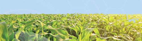 Maïs Grain et Maïs Ensilage