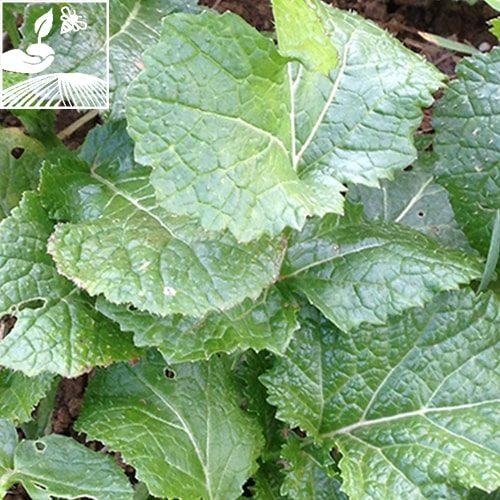 semences engrais vert moutarde brune etamine 2 500x500 - MOUTARDE BRUNE OPALESKA