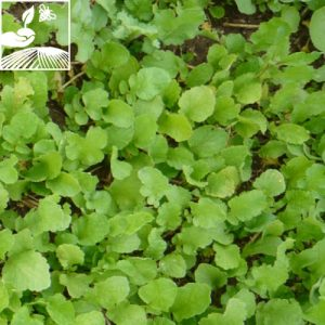 semences engrais vert nemazote 2 300x300 - NEMAZOTE