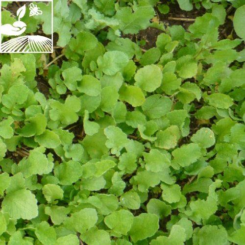 semences engrais vert nemazote 2 500x500 - NEMAZOTE