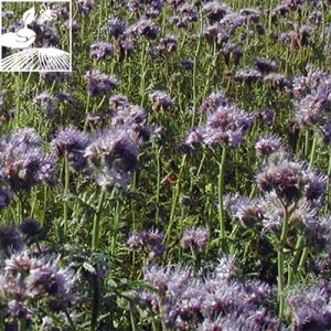 semences engrais vert phacelie 2 300x300 - PHACELIE