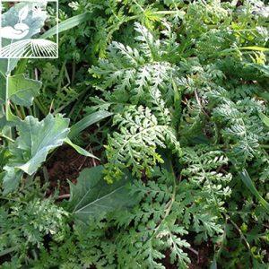 semences engrais vert profaune 2 300x300 - PROFAUNE 1