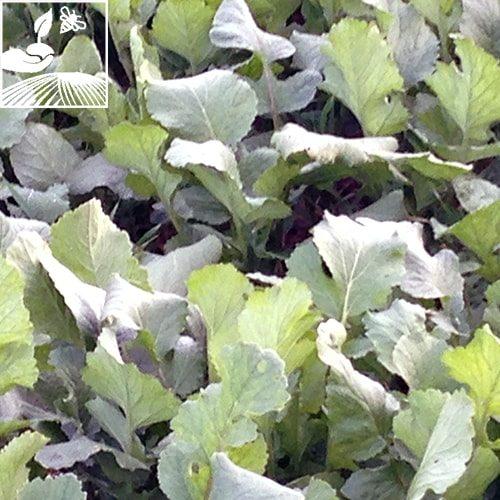 semences engrais vert radis final 2 500x500 - RADIS CLASSIQUE IRIS