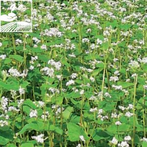 semences engrais vert slteragro 2 300x300 - SL TER AGRO