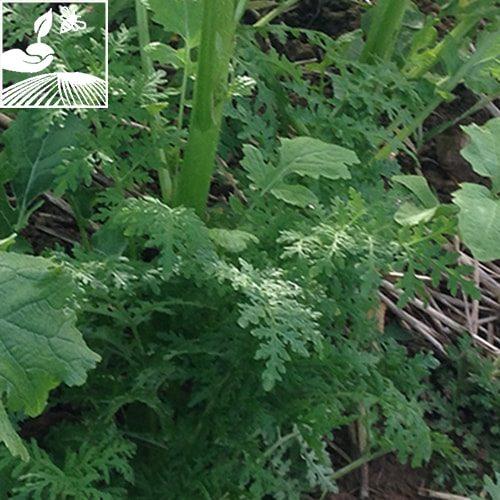 semences engrais vert terragel 2 500x500 - TERRAGEL
