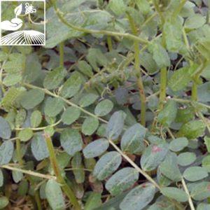 semences engrais vert vesce 2 300x300 - VESCES CARAVELLE