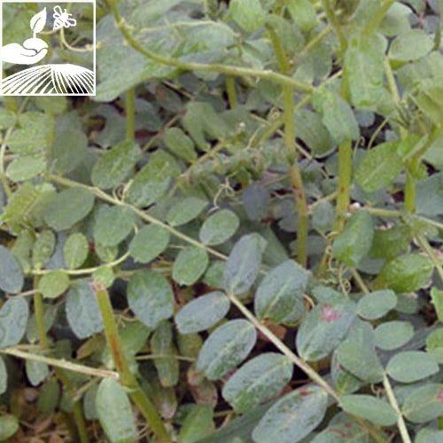 semences engrais vert vesce 2 500x500 - VESCES CARAVELLE