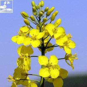 semences colza picto momont 300x300 - PICTO