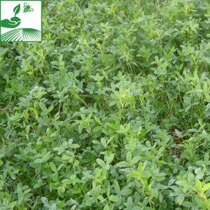 semences colza plante compagne tabor trefle 300x300 - PLANTE COMPAGNE 2