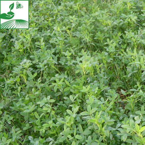 semences colza plante compagne tabor trefle 500x500 - PLANTE COMPAGNE 2