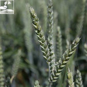 semences ble bergamo 4 300x300 - BERGAMO - 25 KG