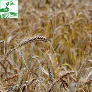 semences cereales a paille orge 12 300x300 - RGT PLANET - 25 KG