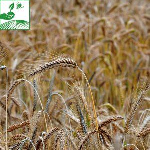 semences cereales a paille orge 13 300x300 - KWS IRINA - 600 KG