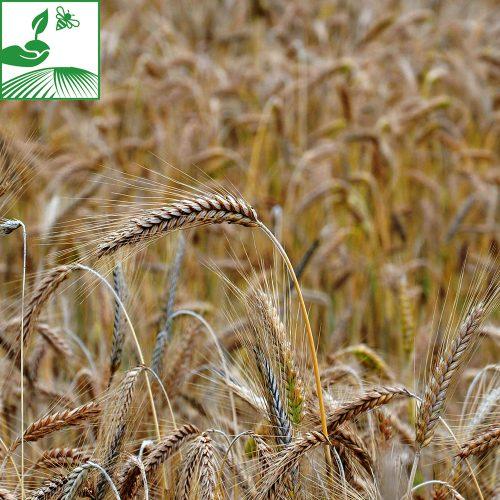 semences cereales a paille orge 13 500x500 - KWS IRINA - 600 KG
