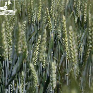 agriculture, blé, blé barbu