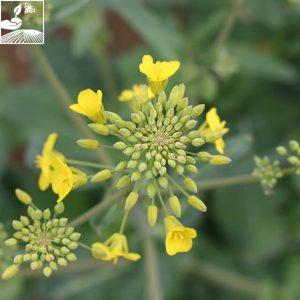 semences colza esalicia 1 300x300 - ES ALICIA