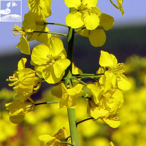 semences colza marc kws 1 500x500 - KWS MARC