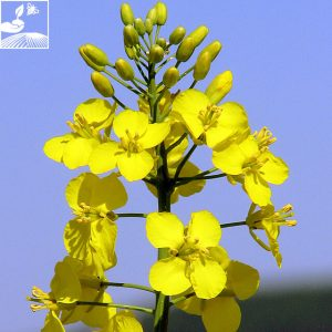semences colza picto momont 1 300x300 - PICTO