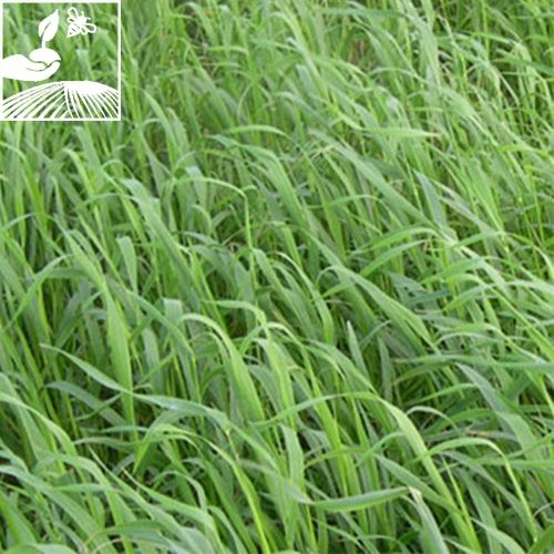 semences engrais vert avoine rude 500x500 - AVOINE RUDE CADENCE