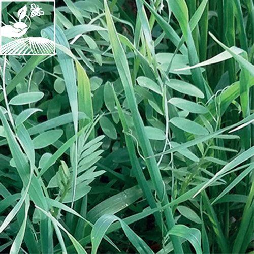 semences engrais vert chlorofiltre26 500x500 - CHLOROFILTRE N°26