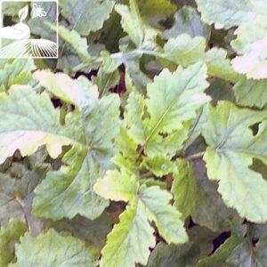 semences engrais vert moutarde blanche sinus 300x300 - MOUTARDE BLANCHE EVA