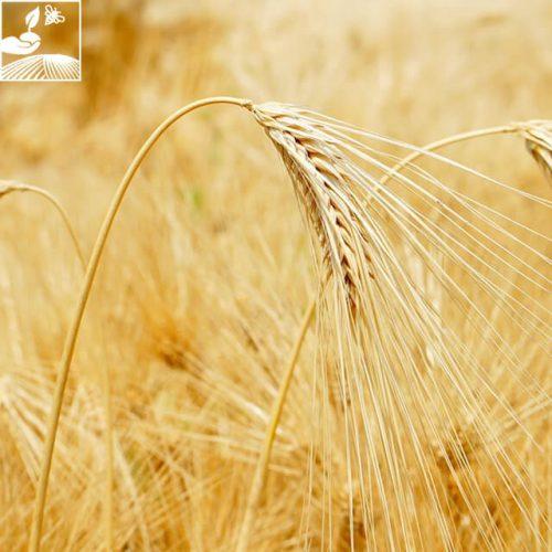semences escourgeon 6 500x500 - KWS AKKORD - BIGDOSE