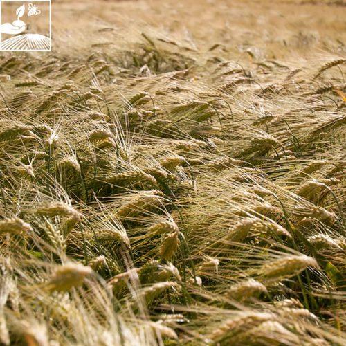 semences escourgeon4 14 500x500 - RAFAELA - BIGDOSE